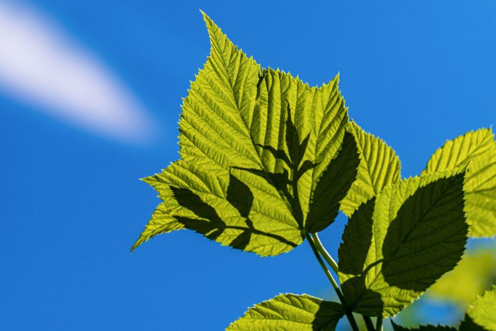 leaf 5383103